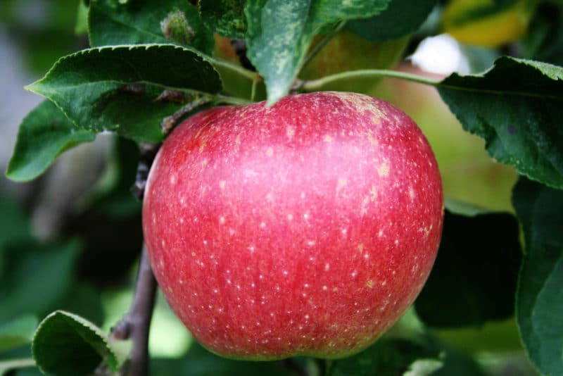 15 Fat Burning Foods - Apples