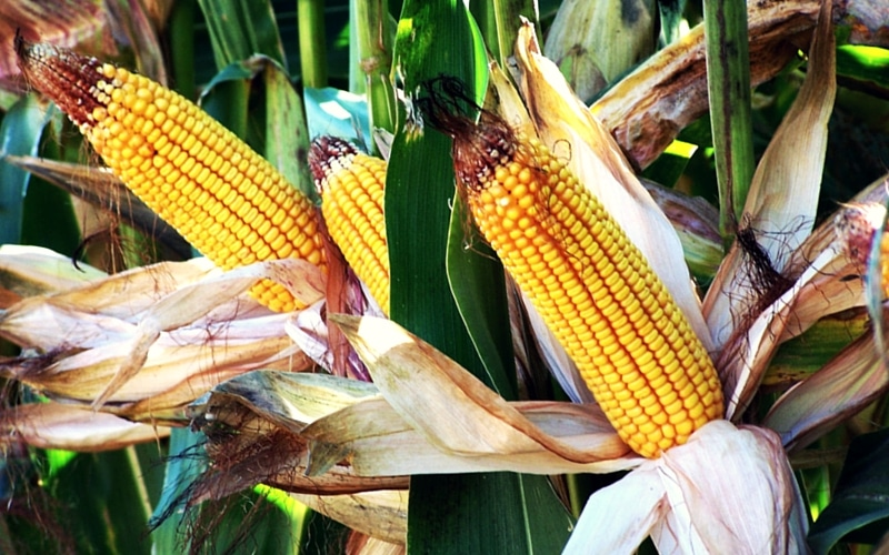 6 Organic Foods You Should Never Buy in Conventional Form - Corn