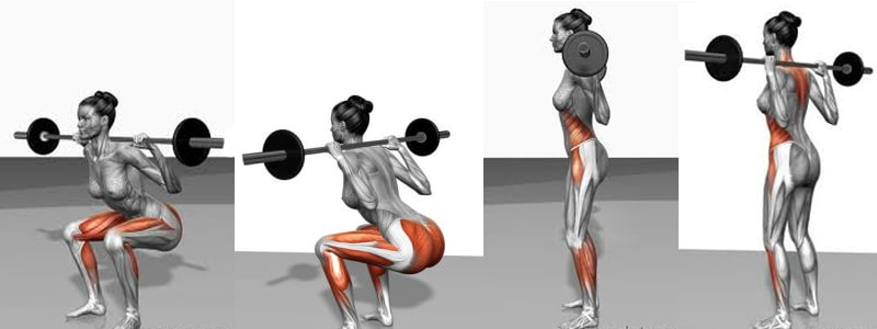 Illustration of the muscles worked in the Squat exercise