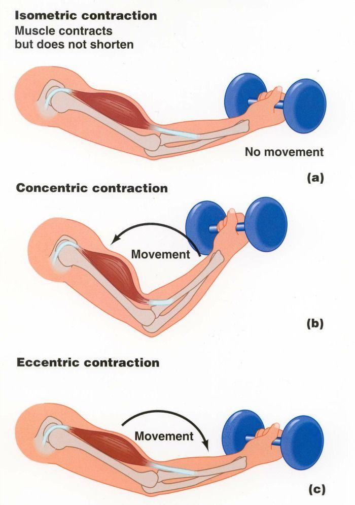 isometric-vs-concentric-vs-eccentric-contractions